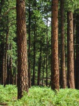 Ferns & Ponderosa Pines