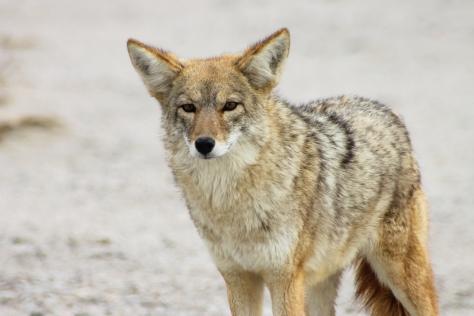 Coyote-7