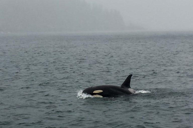 orca-1
