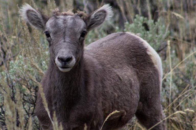 bighornbaby