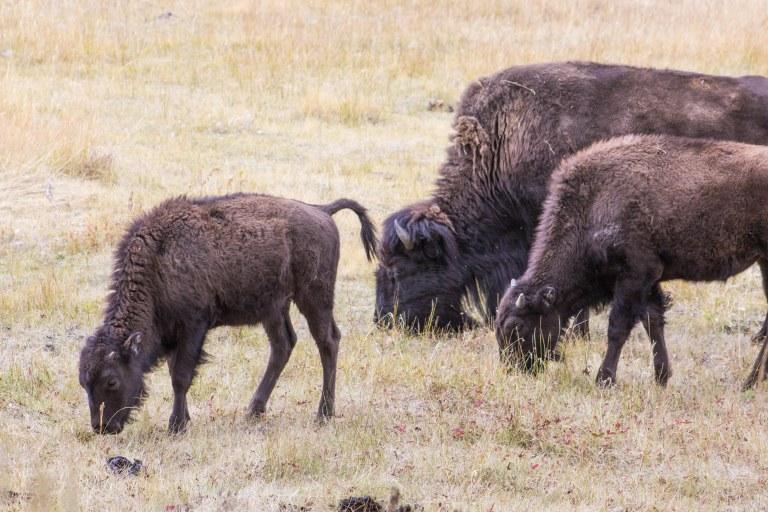 bisonbabies