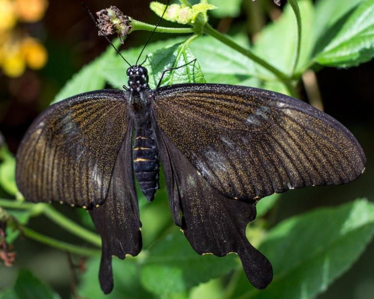 brownshimmer