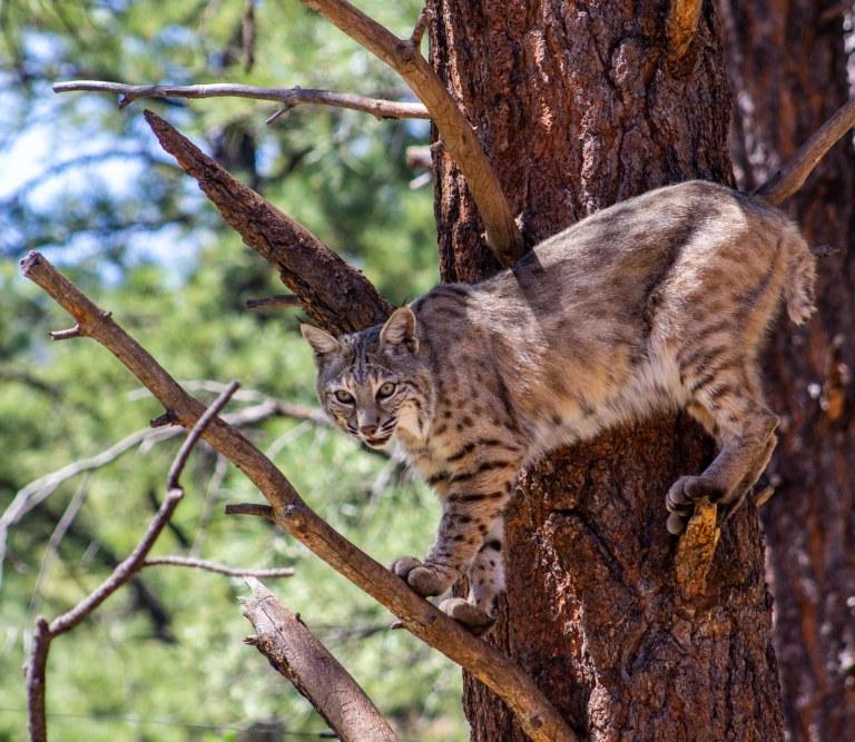 bobcattree